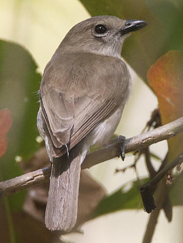 grey whistler wikipedia