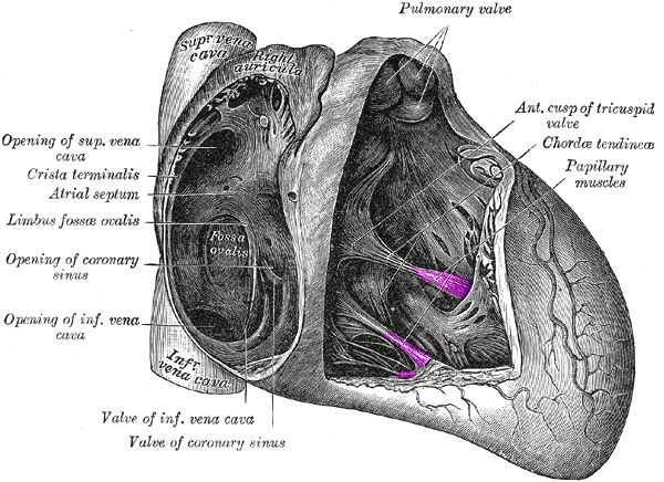 papillary muscle - wikipedia, Human Body