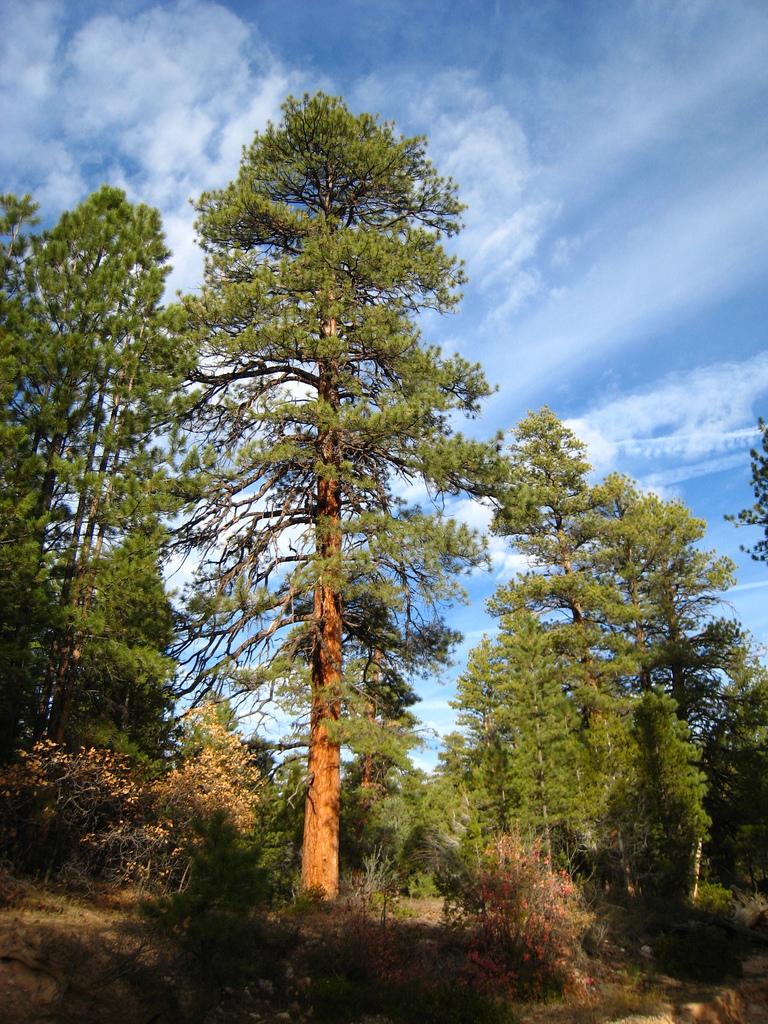 File Pinus Ponderosa Brachyptera Tree Jpg Wikimedia Commons