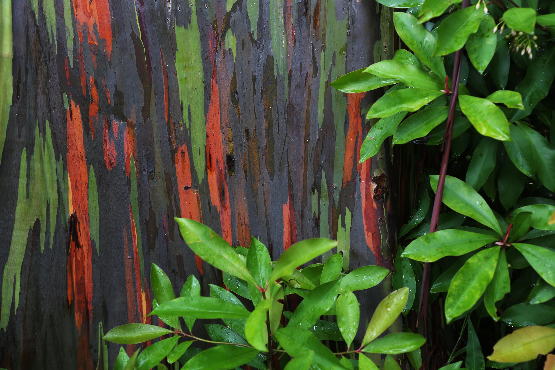 Eucalyptus deglupta - Wikiwand