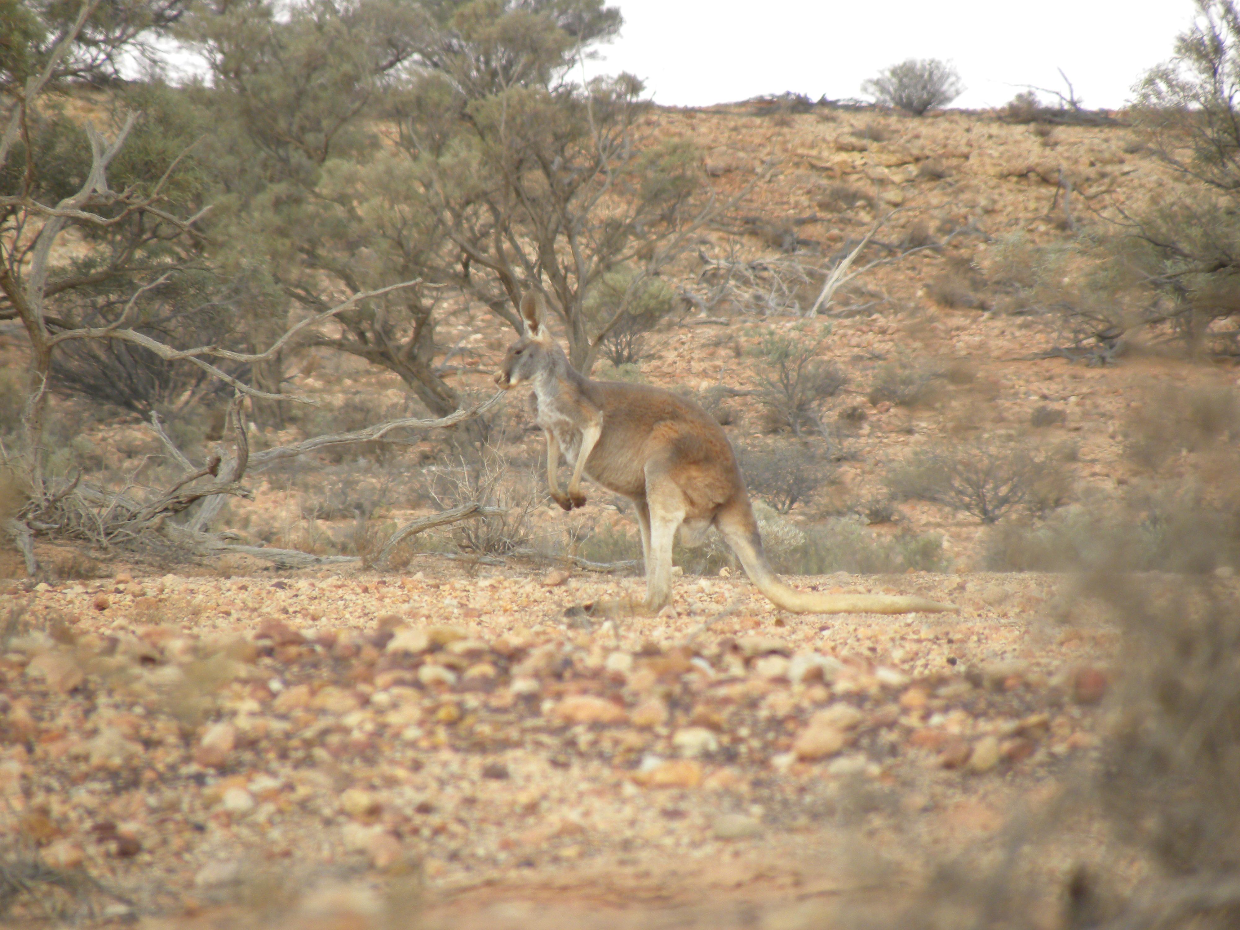 Red Kangaroo Habitat File:Red Kangaroo.jpg ...