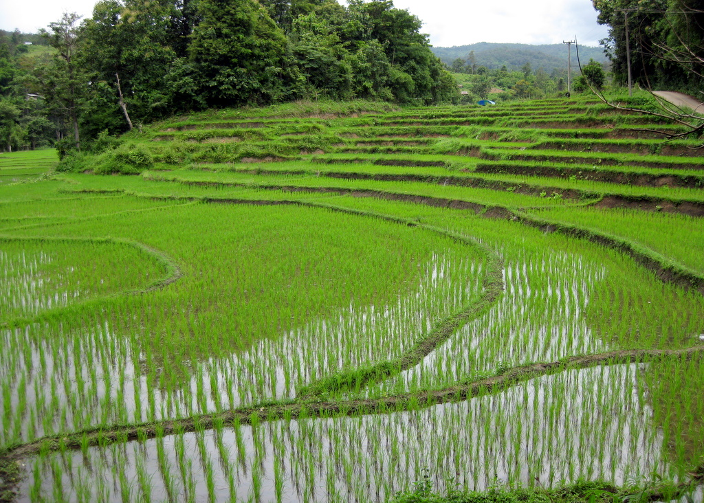 rice fields - photo #3