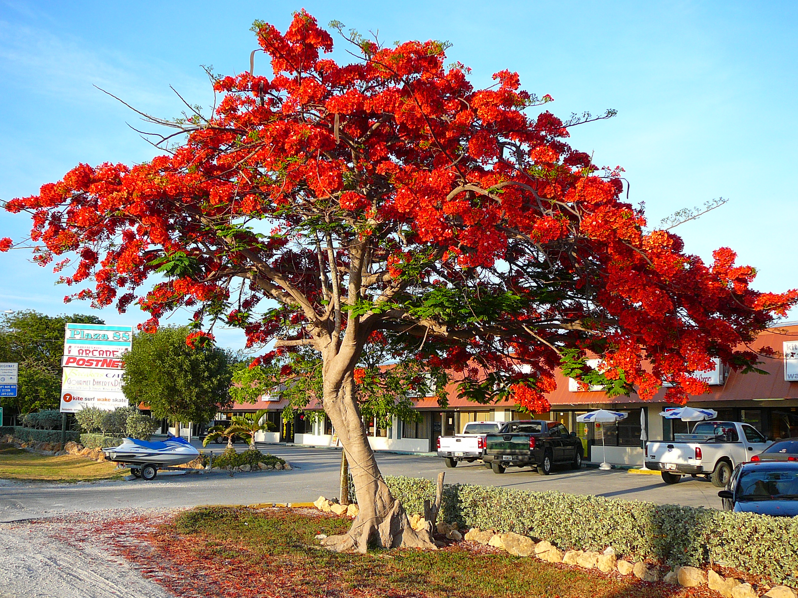 Image result for royal poinciana