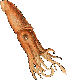 Squid transparent.png