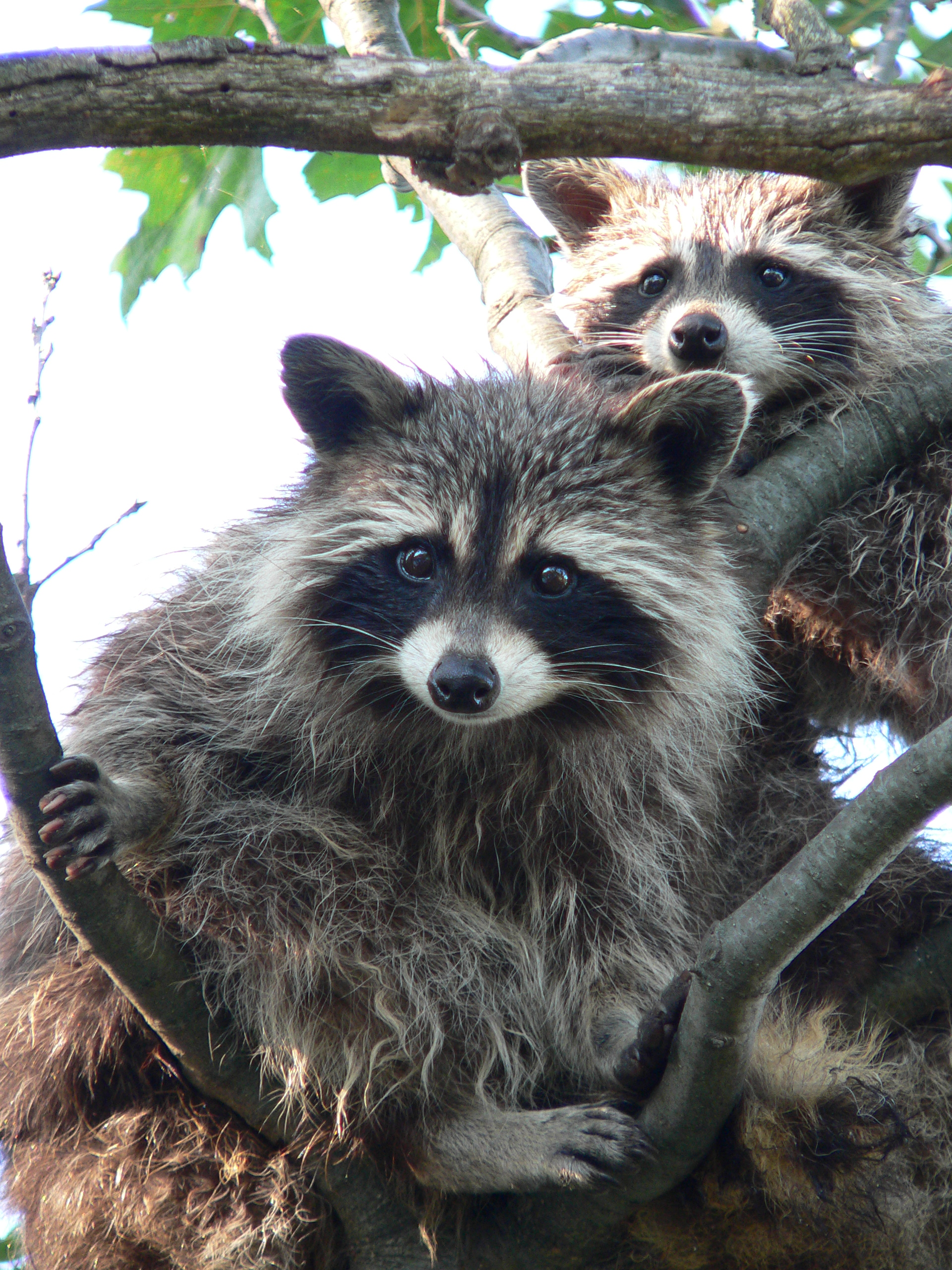 Coon hunting - Wikipedia
