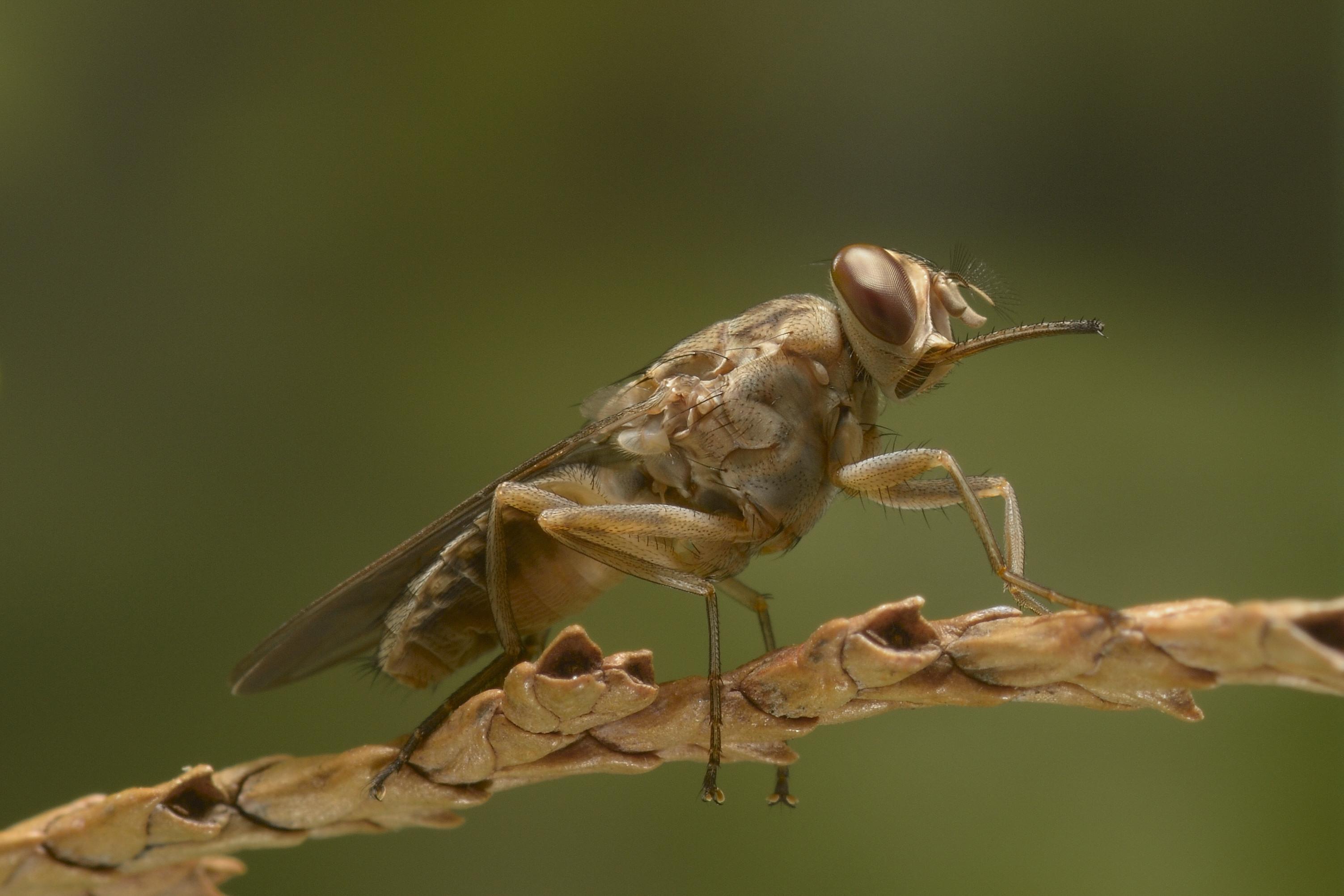 Image result for tsetse fly