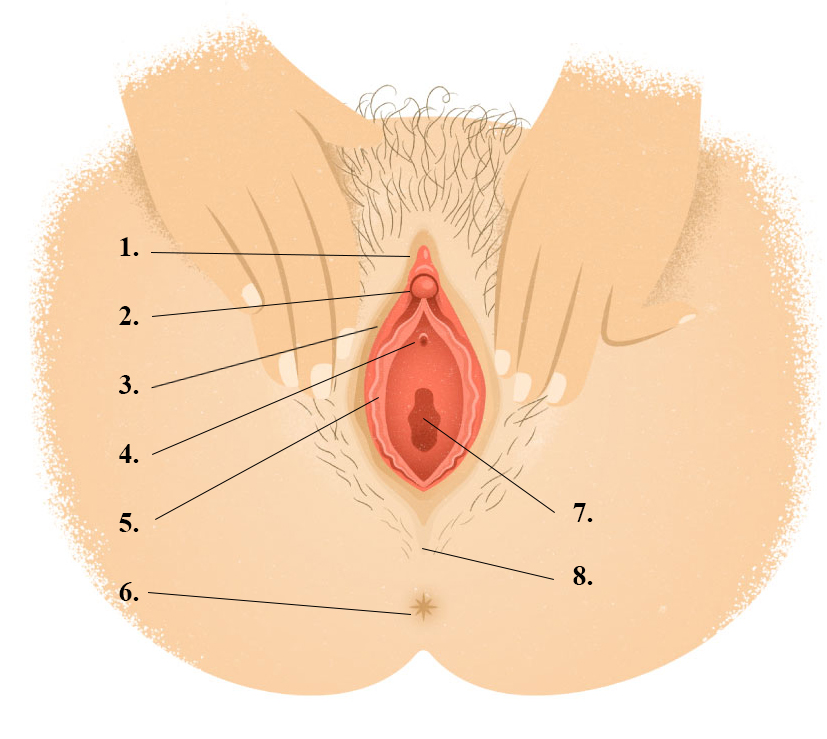file:vagina vulva drawing with pointers and numbers, Human body