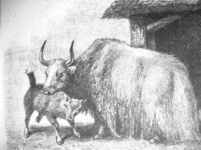 http://upload.wikimedia.org/wikipedia/commons/8/87/Yak_Drawing_historic.jpg