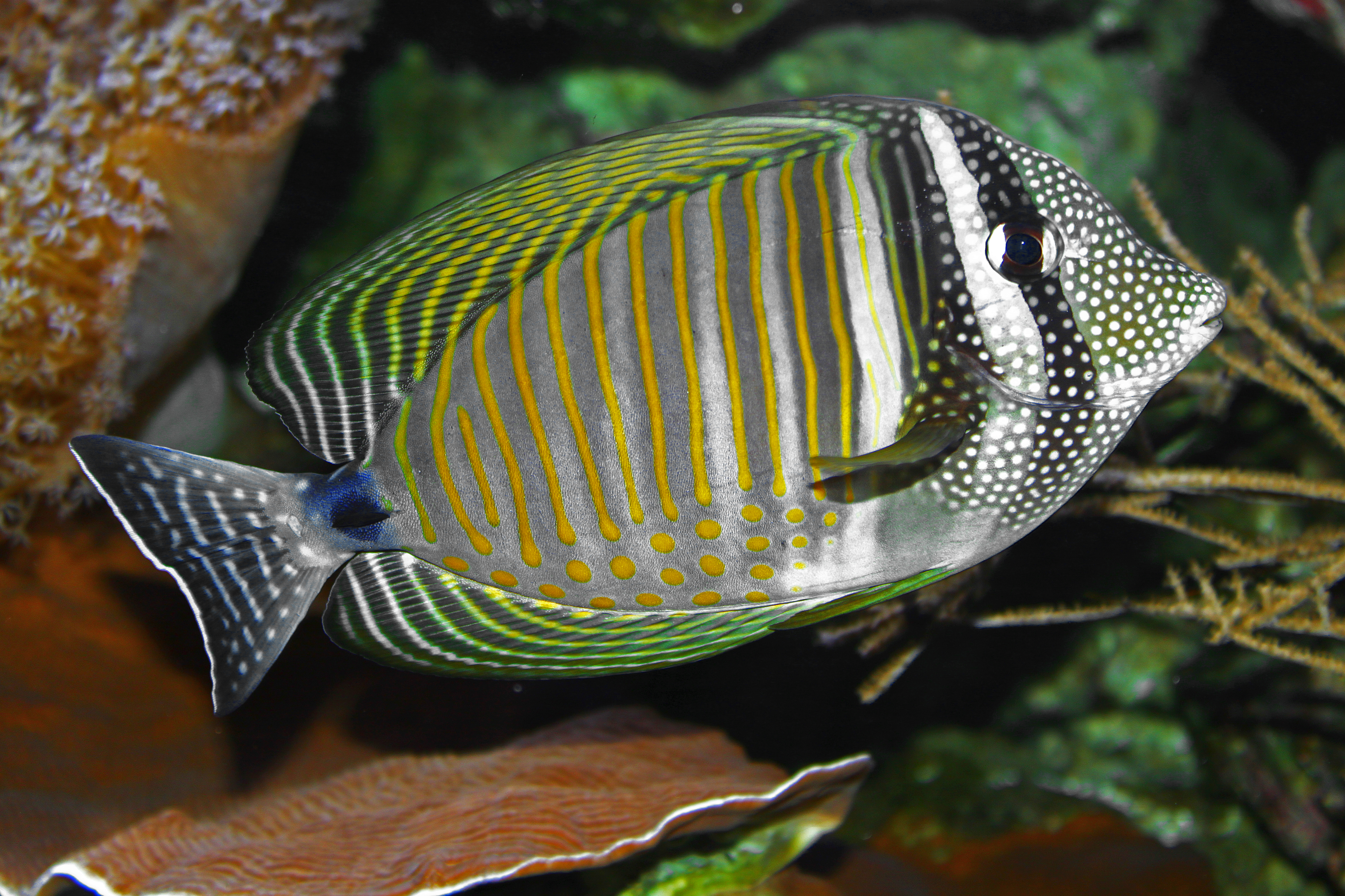 Red_sea_sailfin_tang on Ocean Animals