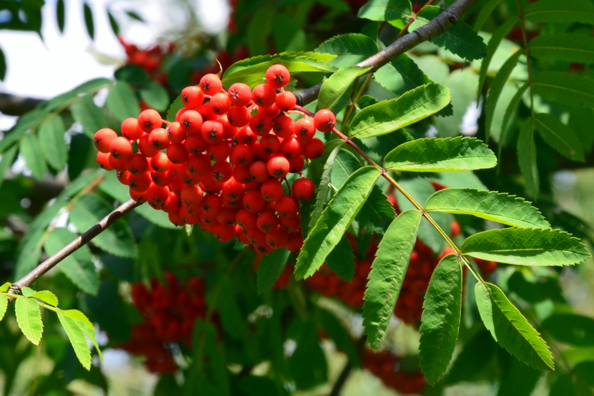 Type Of Tree File Sorbus Aucuparia L Vogelbeere In Sanok 2014 7 Jpg
