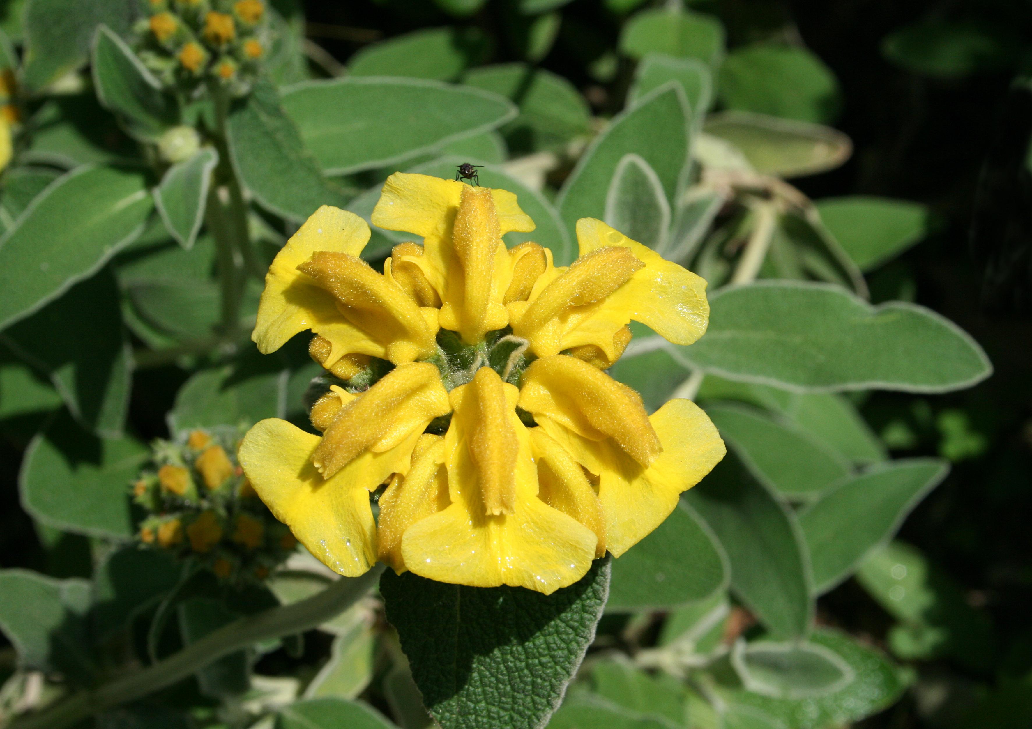 Phlomis Fruticosa Wikipedia