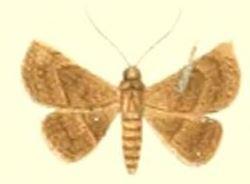 <i>Autoba abrupta</i> species of insect