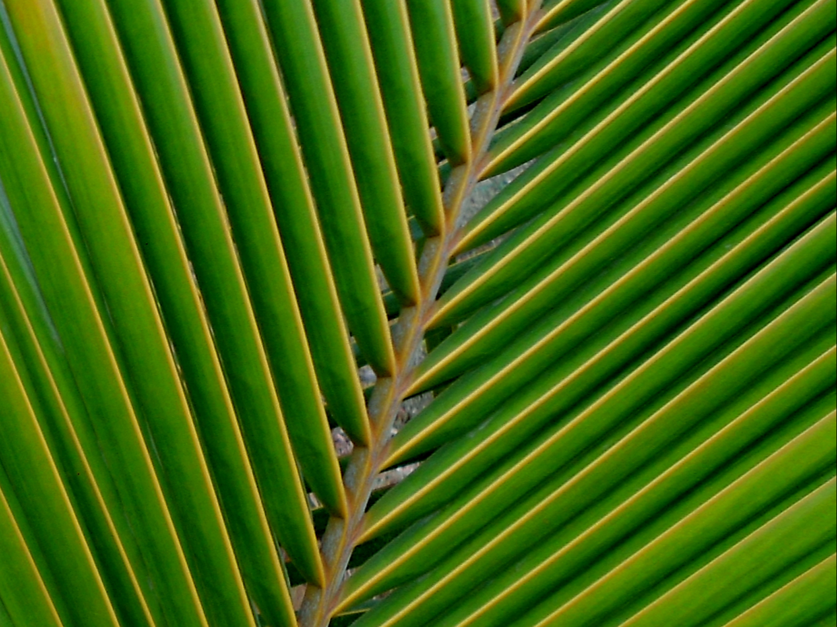 File:A coconut palm leaf at Madhurawada.JPG
