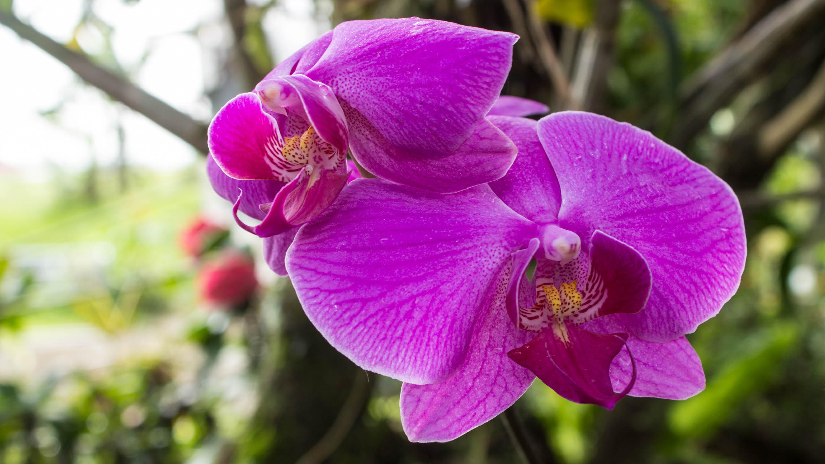 Berkas Anggrek Bulan Ungu Phalaenopsis amabilis jpg