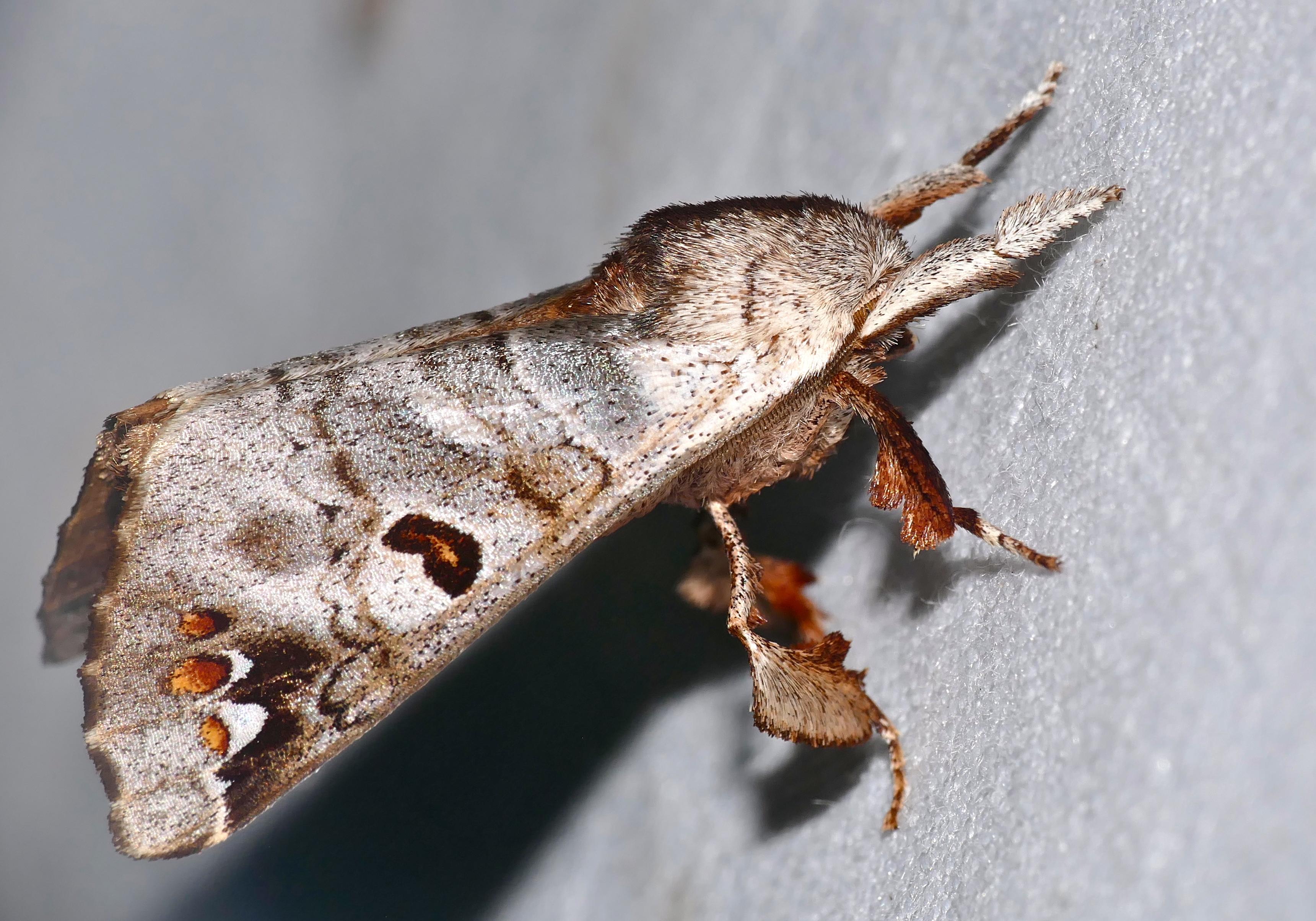 Sưu tập Bộ cánh vẩy  - Page 6 Apatelodid_Moth_%28Pantelodes_satellitia%29_%2840938171901%29