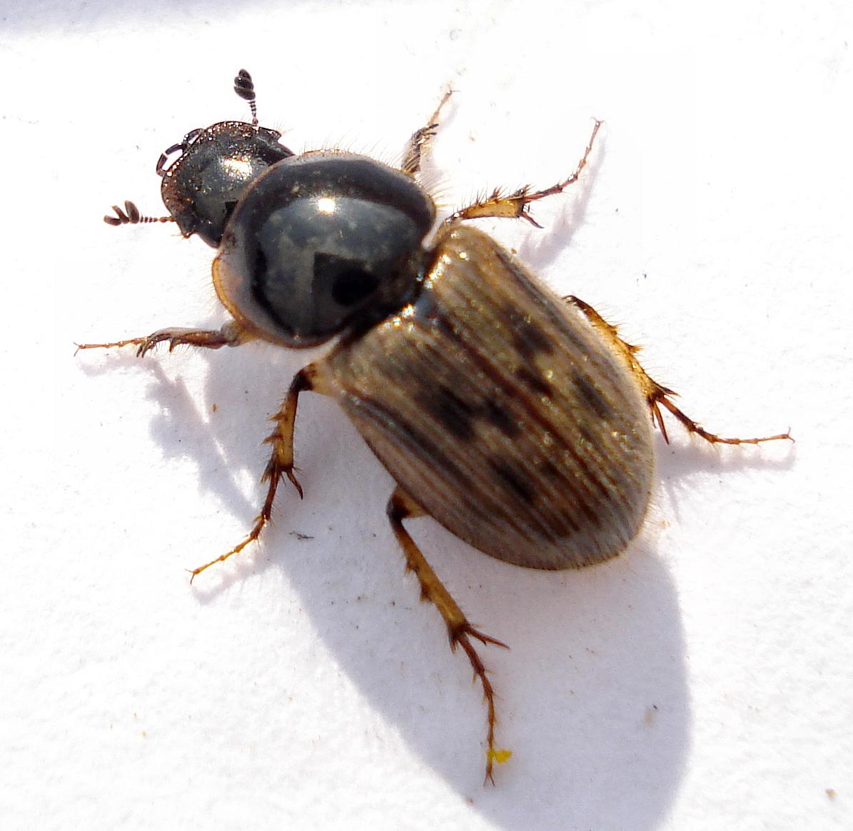 Mestkevers