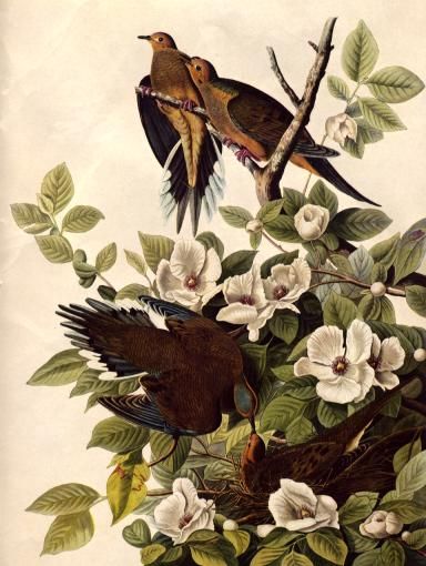 Resultado de imagen de carolina pigeon audubon