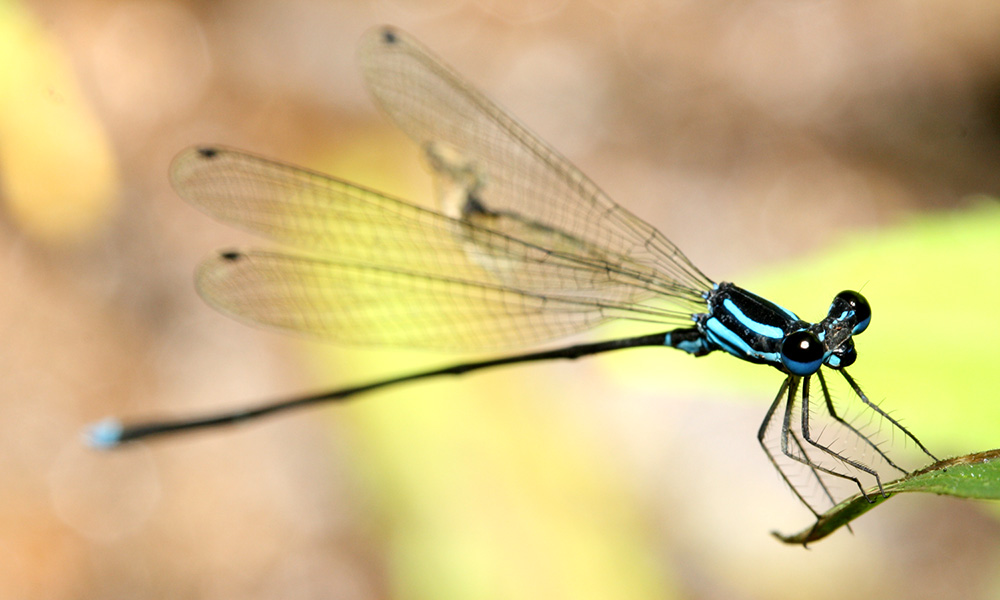 fileblue dragonfly2jpg wikimedia commons