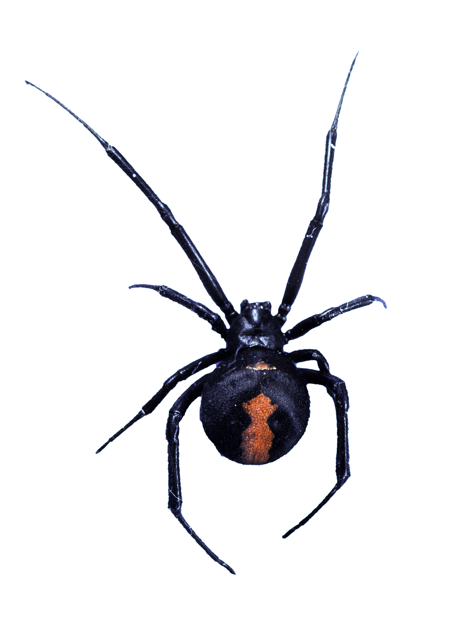 Image Result For Black Widow Spider
