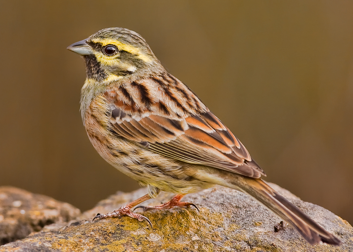Bunting Bird Wikipedia