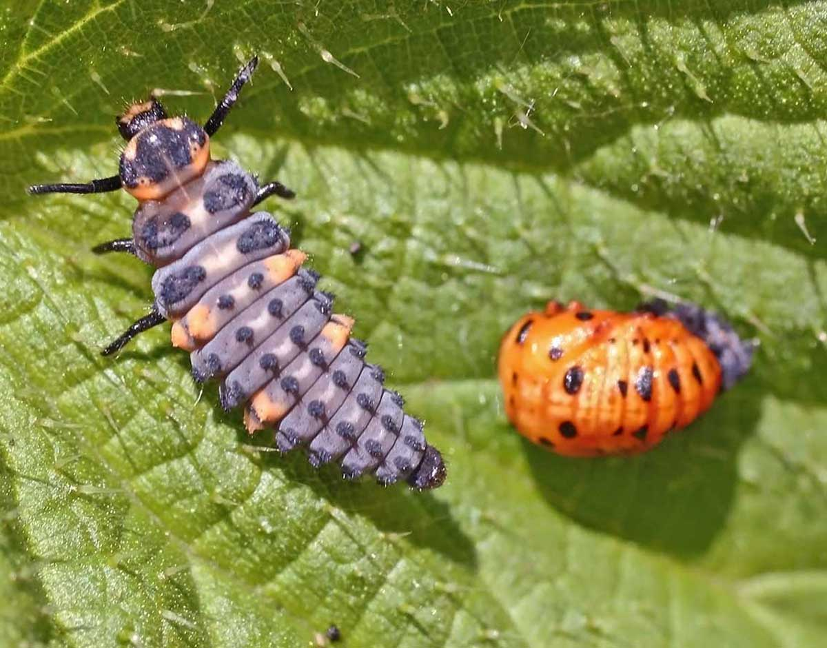 file coccinella septempunctata lifecycle a 08 pupa and wikimedia commons. Black Bedroom Furniture Sets. Home Design Ideas