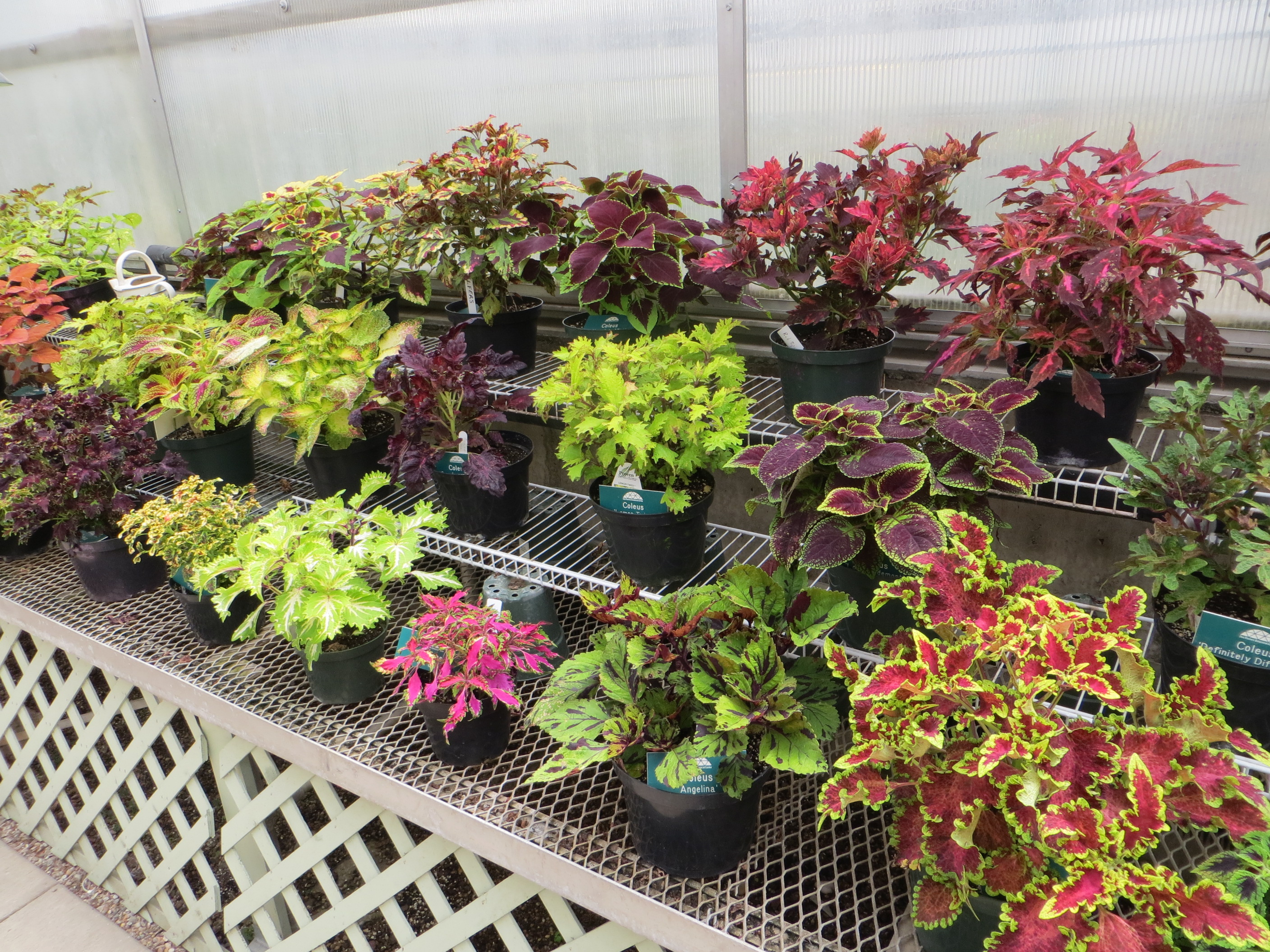 File Coleus Plant Varieties Des Moines Botanical Center