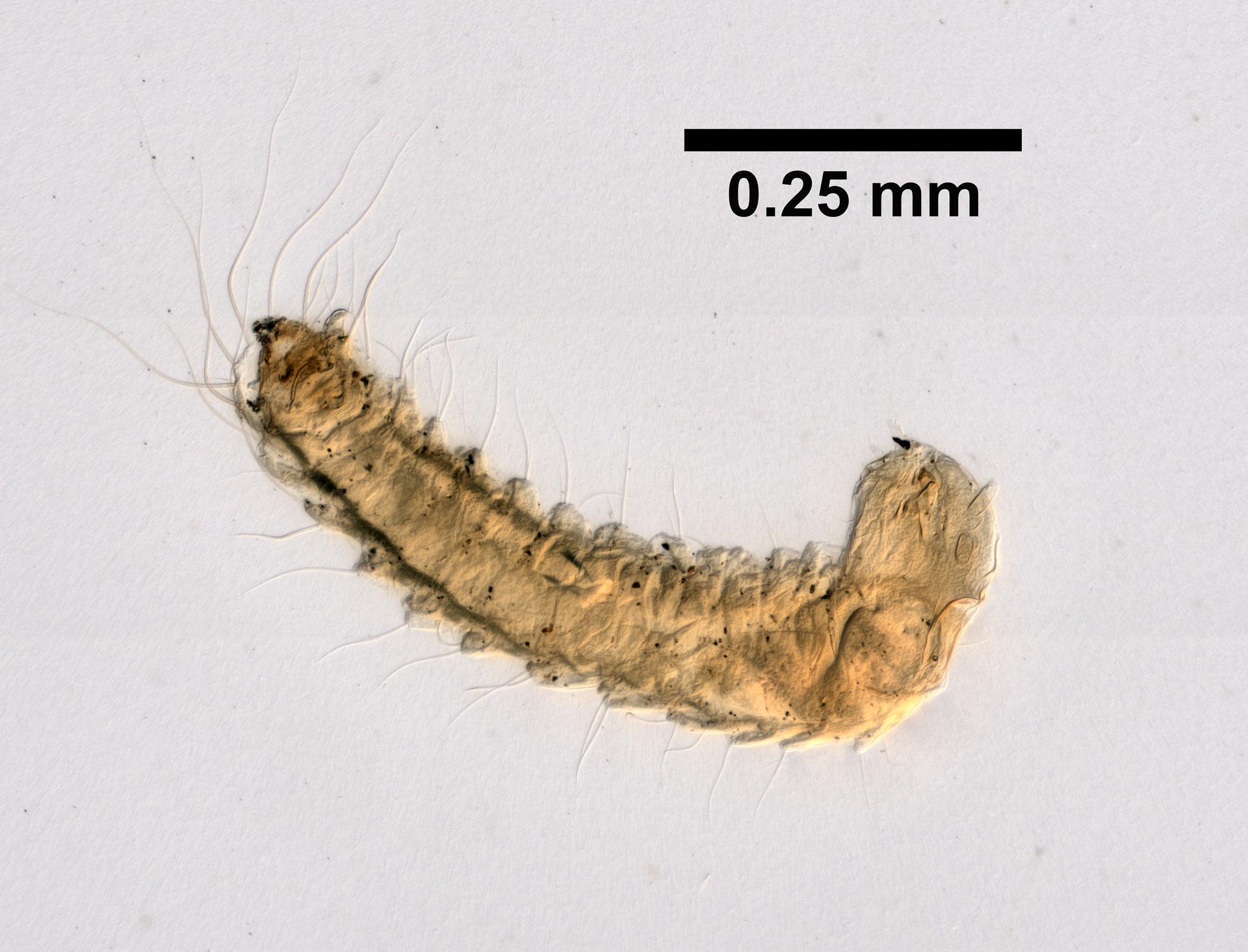 Na mikrofotografii je beznohá larva blechy krémové barvy