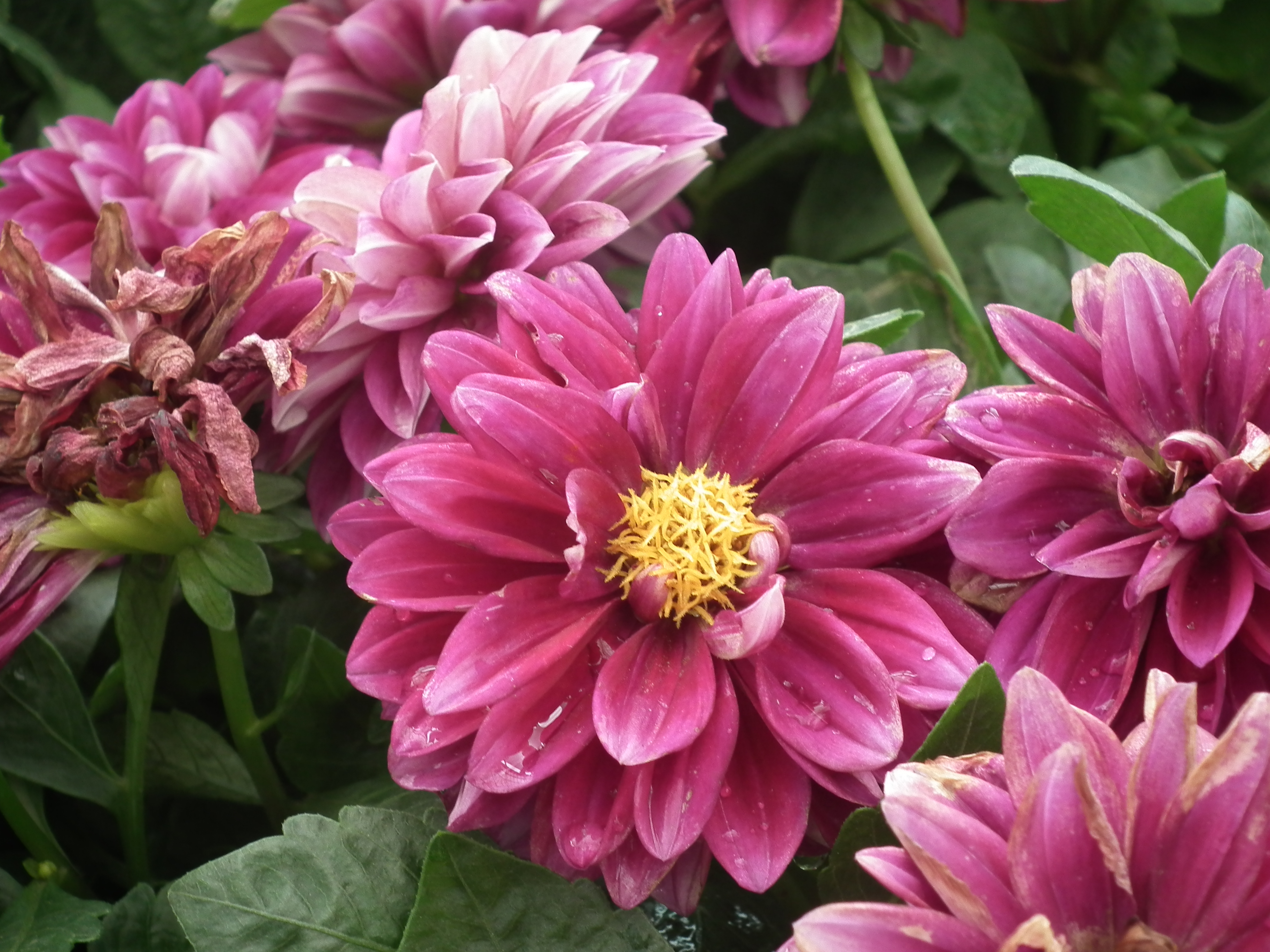 File Dahlia from Lalbagh Flower Show August 2012 4621 JPG Wikimedia mons