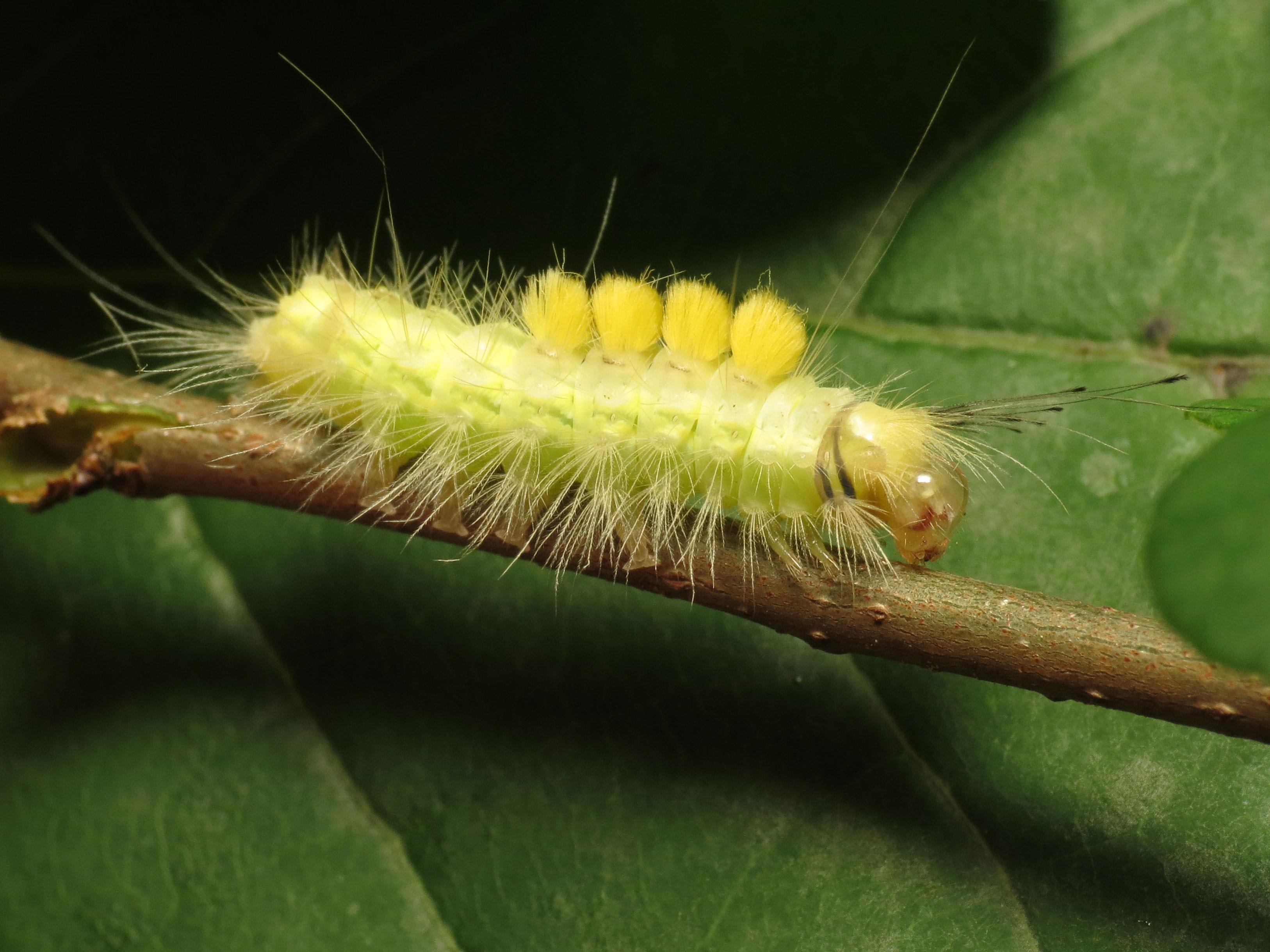 File:Definite Tussock Moth Caterpillar (15381081537).jpg - Wikimedia Commons