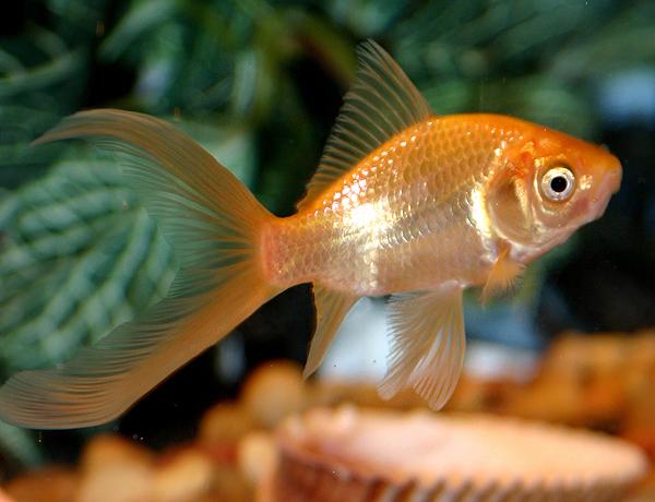 Domesticcometgoldfish