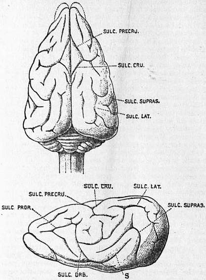 EB1911 Brain Fig. 22-Ratel.jpg