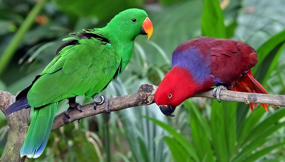 Green male and red female Eclectus parrots