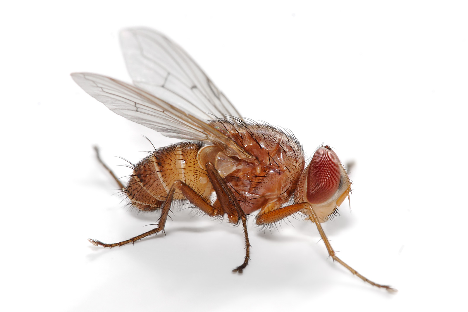 Download this File Fly Muscidae picture