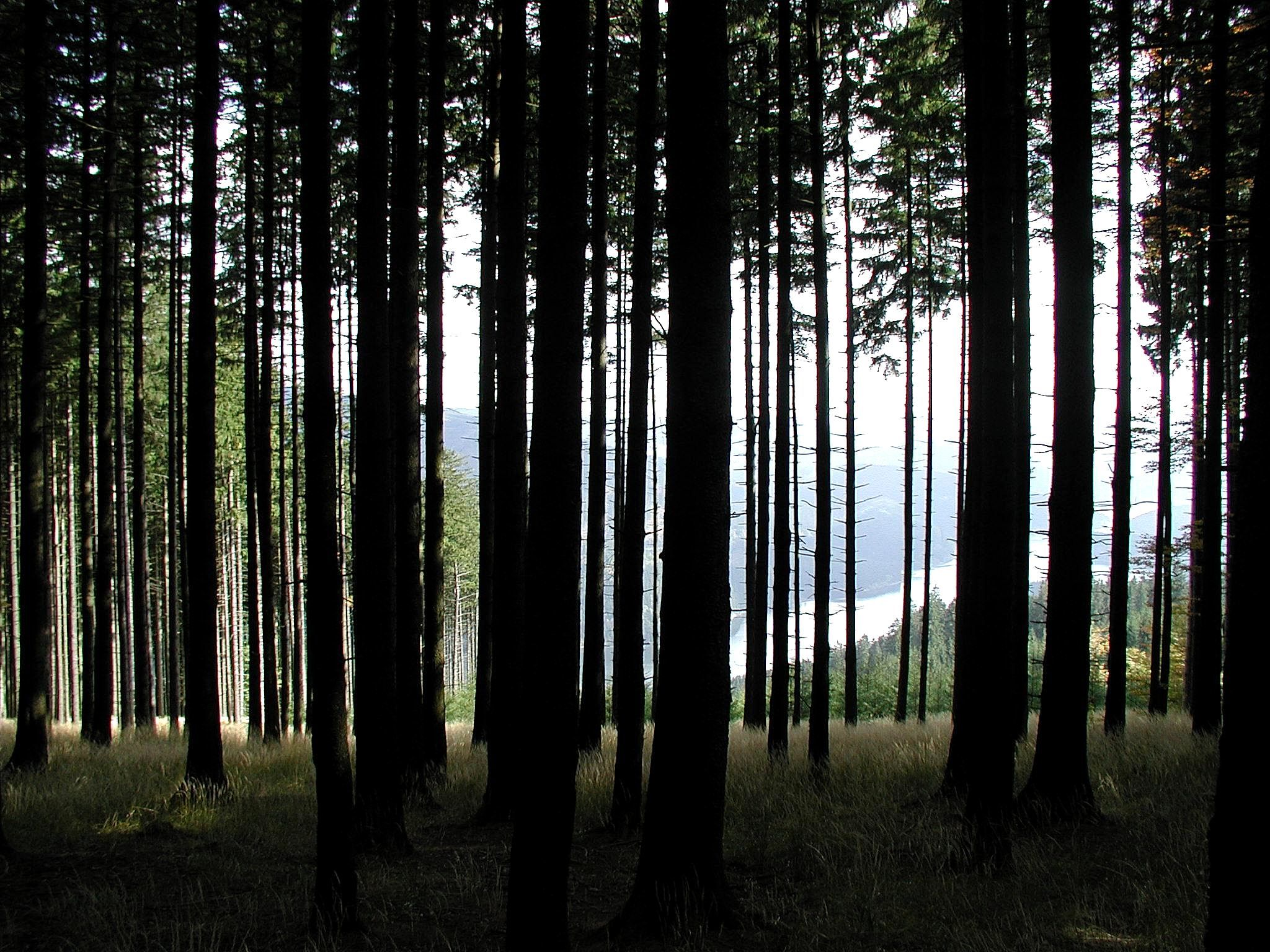 birch tree wallpaper grey