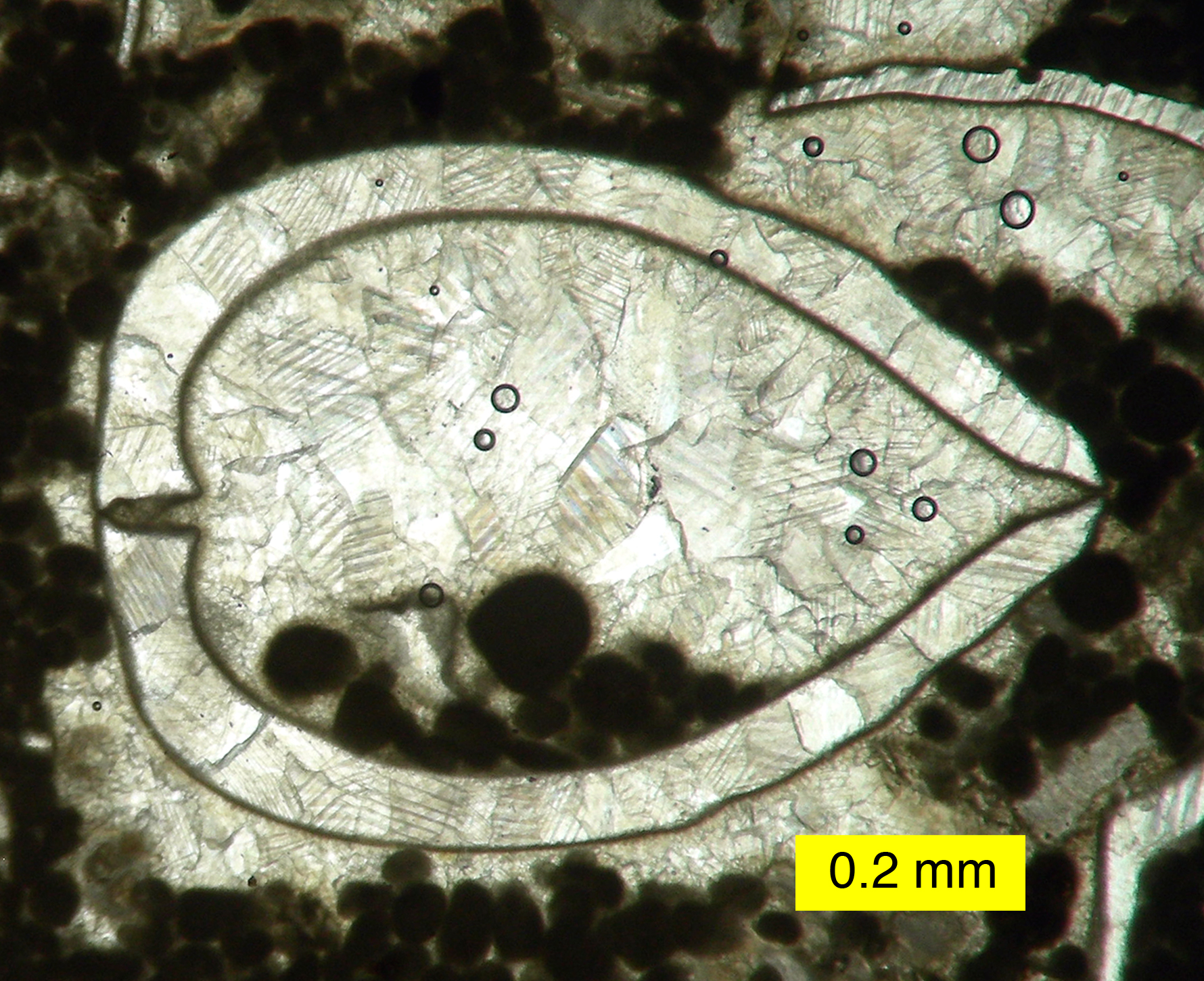 Gastropod Thin Section