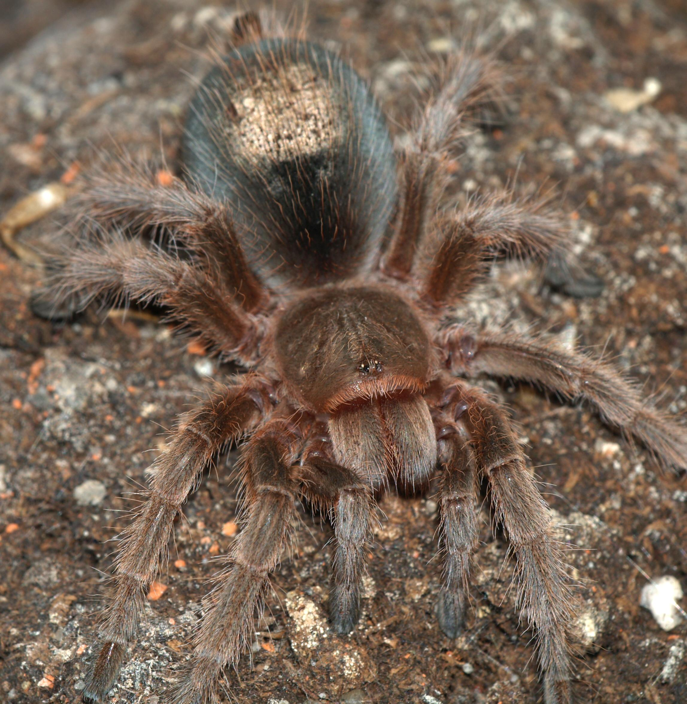 File Grammostola Rosea With Hair Patch Jpg Wikipedia