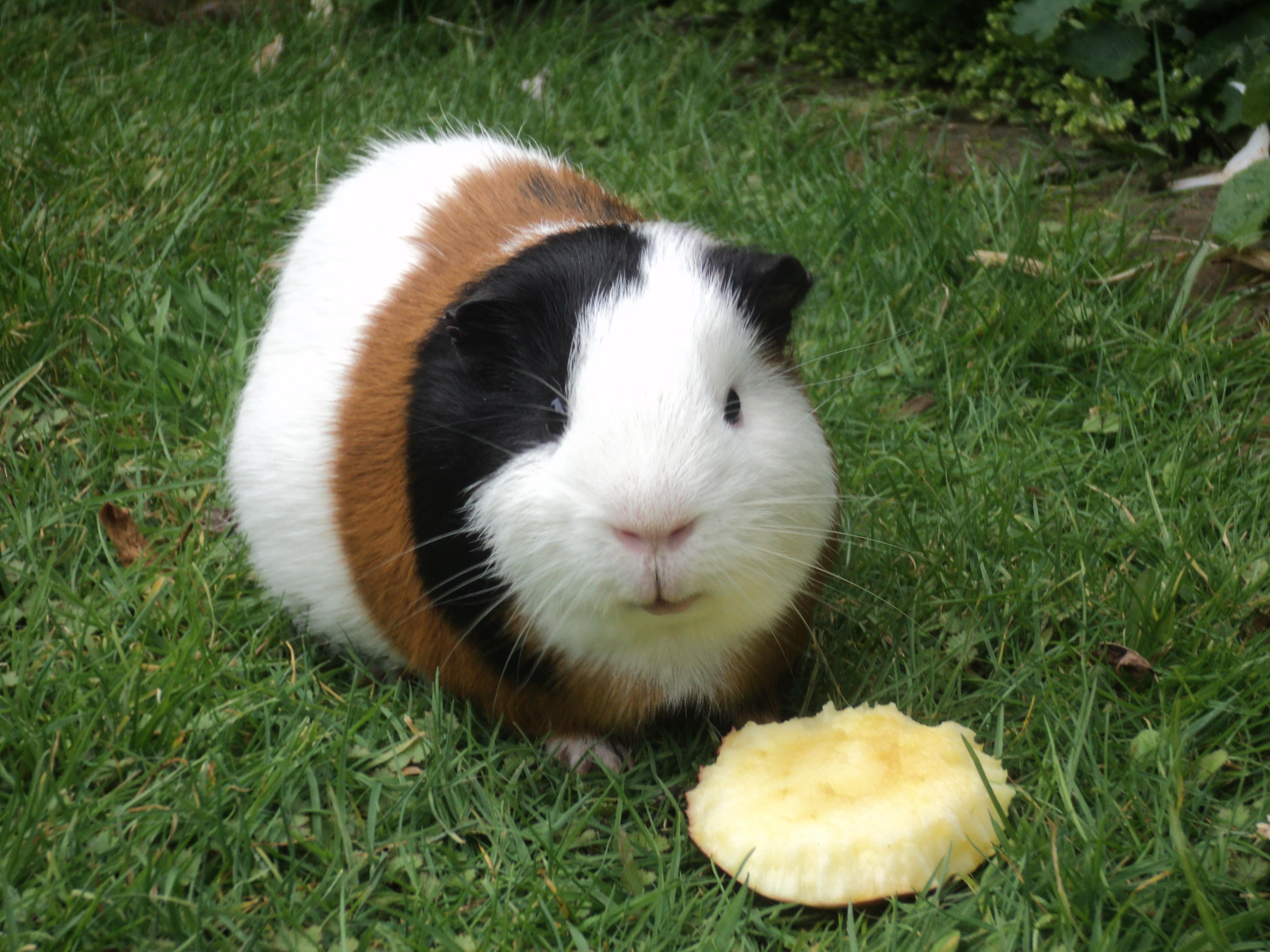 Description Guinea Pig eating apple.JPG