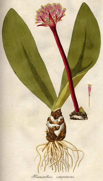 Haemanthus Sanguineus Wikipedia