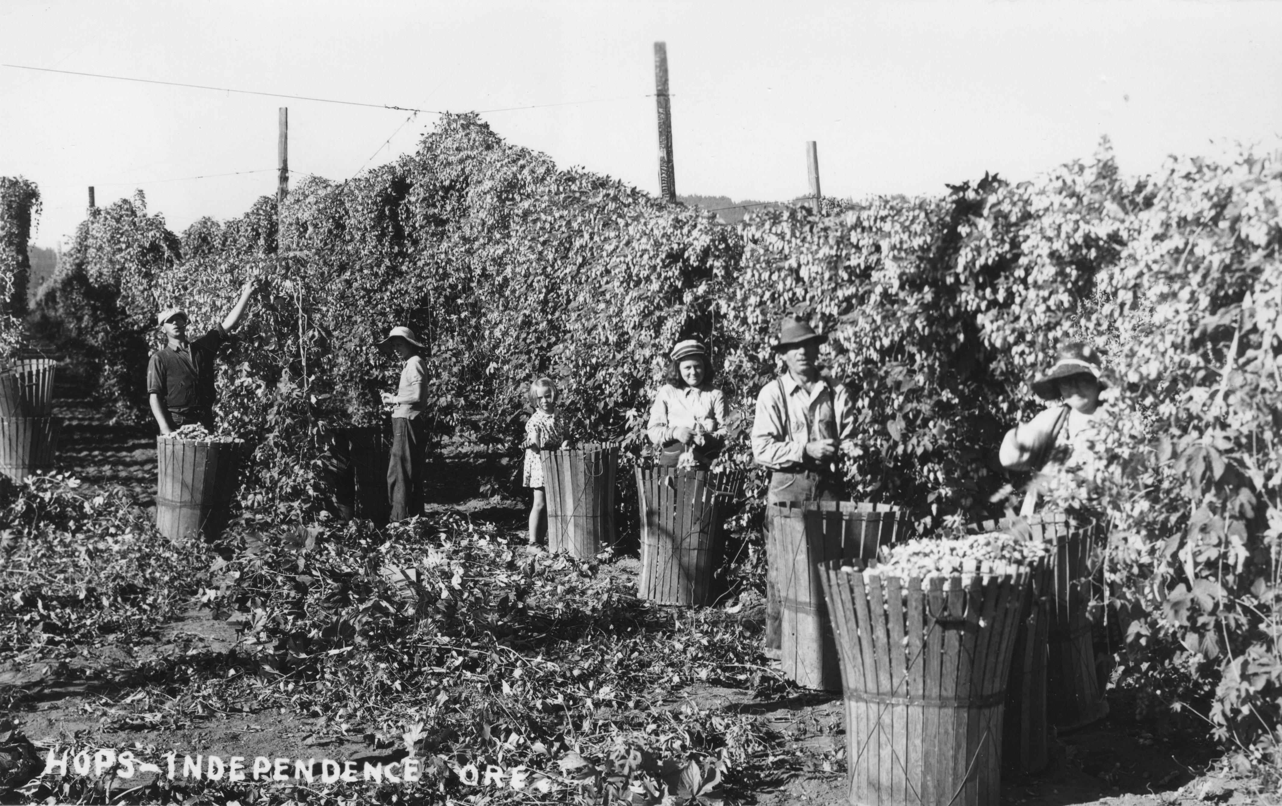 Harvesting hops near Independence, Oregon. ca. 1940; public domain image courtesy of Wikimedia Commons.