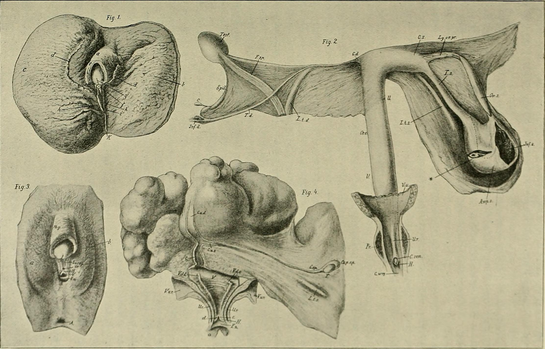 anatomiya-germafrodita
