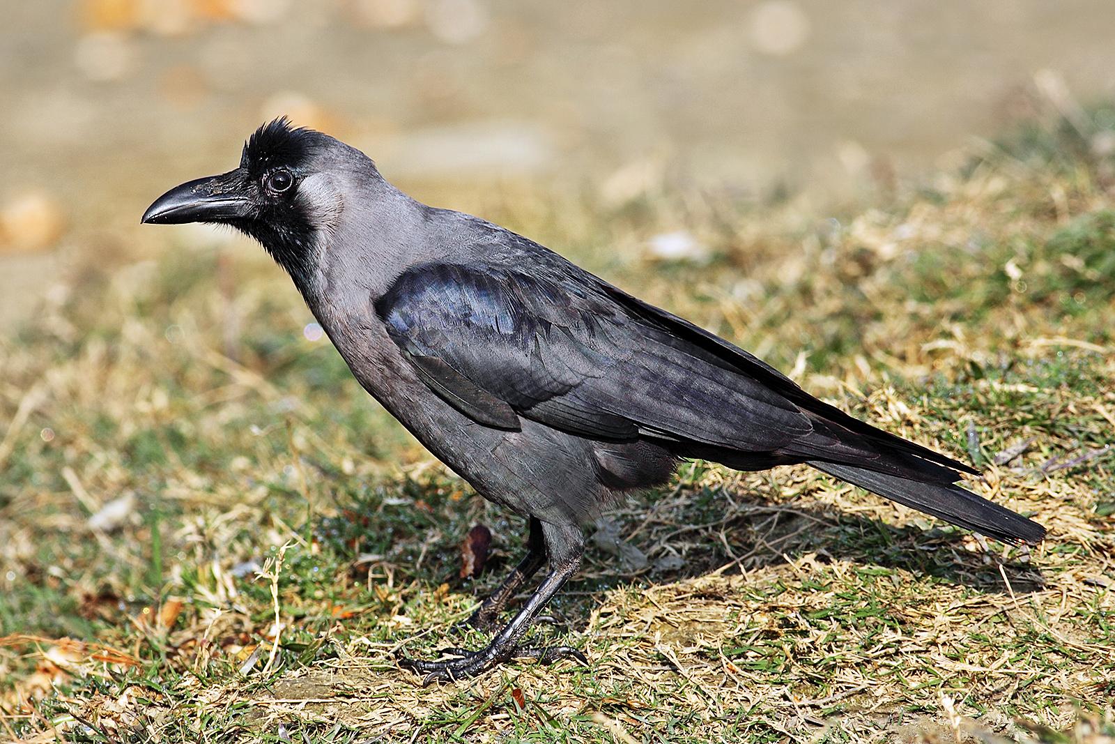 House crow - Wikipedia
