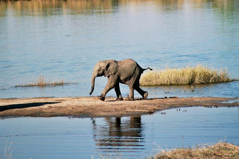 FileIan Baby Elephant Chobe River Botswanajpg - Chobe river