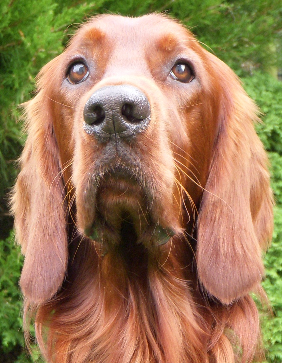 http://upload.wikimedia.org/wikipedia/commons/8/88/Irish_Setter_001.jpg