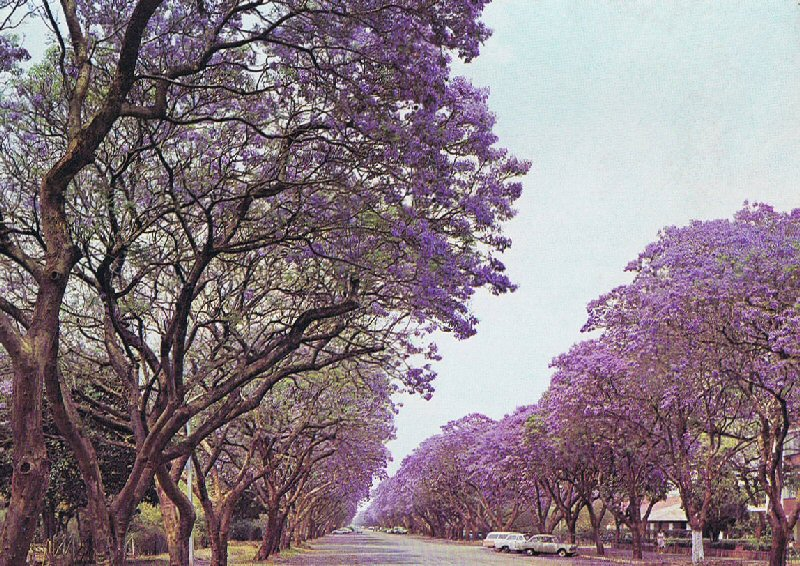 Harare Zimbabwe  city photo : Jacaranda trees in Montagu Ave, Harare, Zimbabwe in 1975 ...