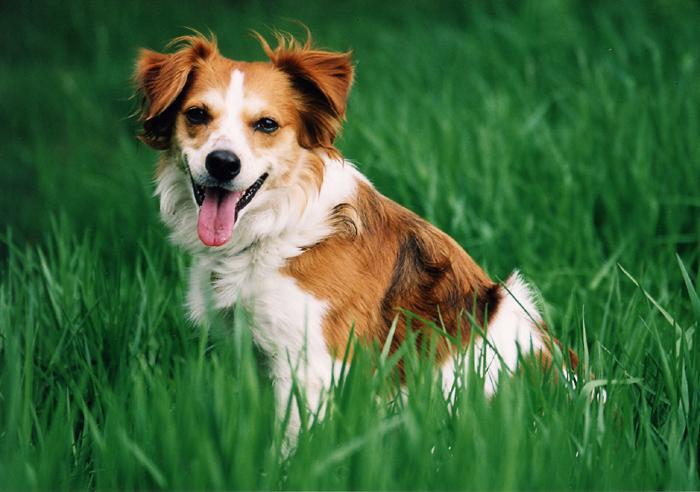 Beautiful Kromfohrländer dog in Grass