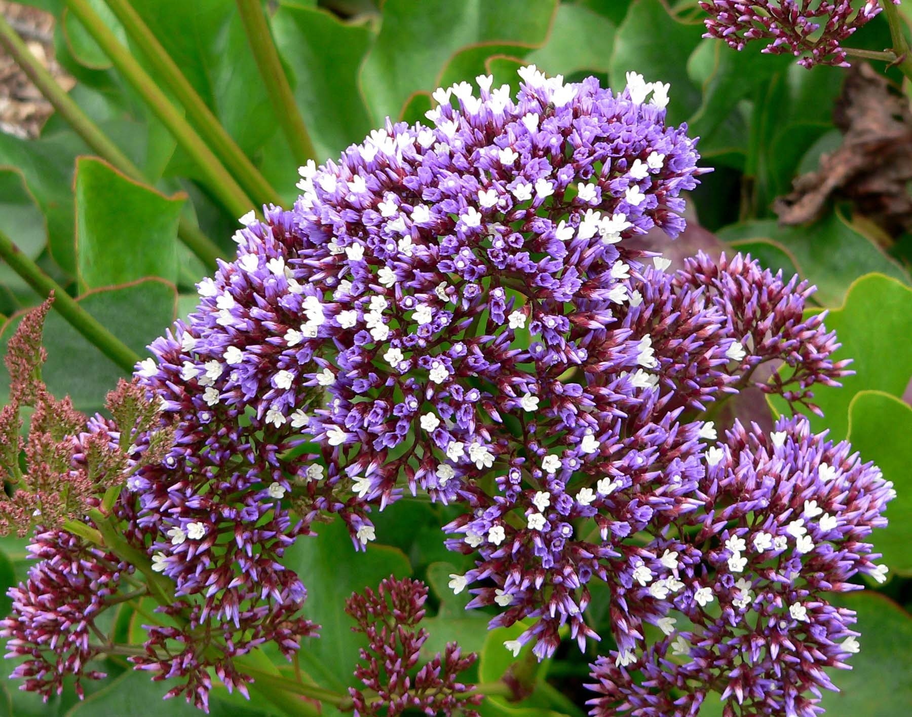 Limonium perezii Sea Statice Sea Lavender