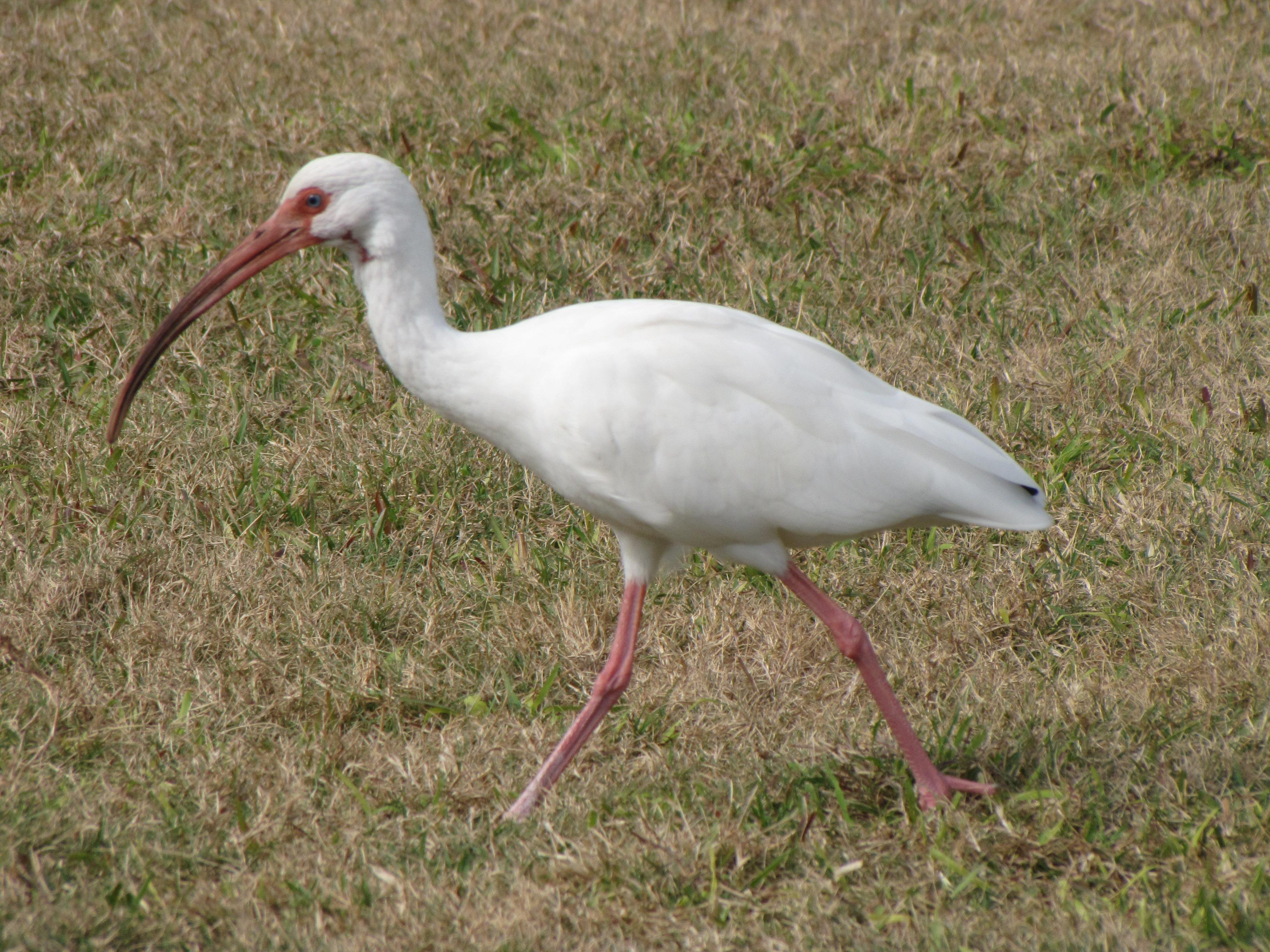 file long beak white bird jpg wikimedia commons