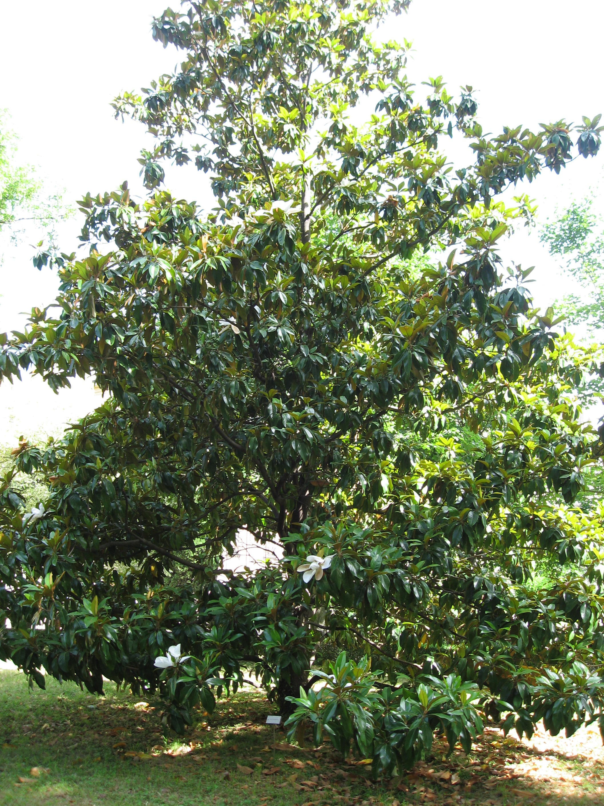 file magnolia grandiflora 01 by wikimedia commons. Black Bedroom Furniture Sets. Home Design Ideas
