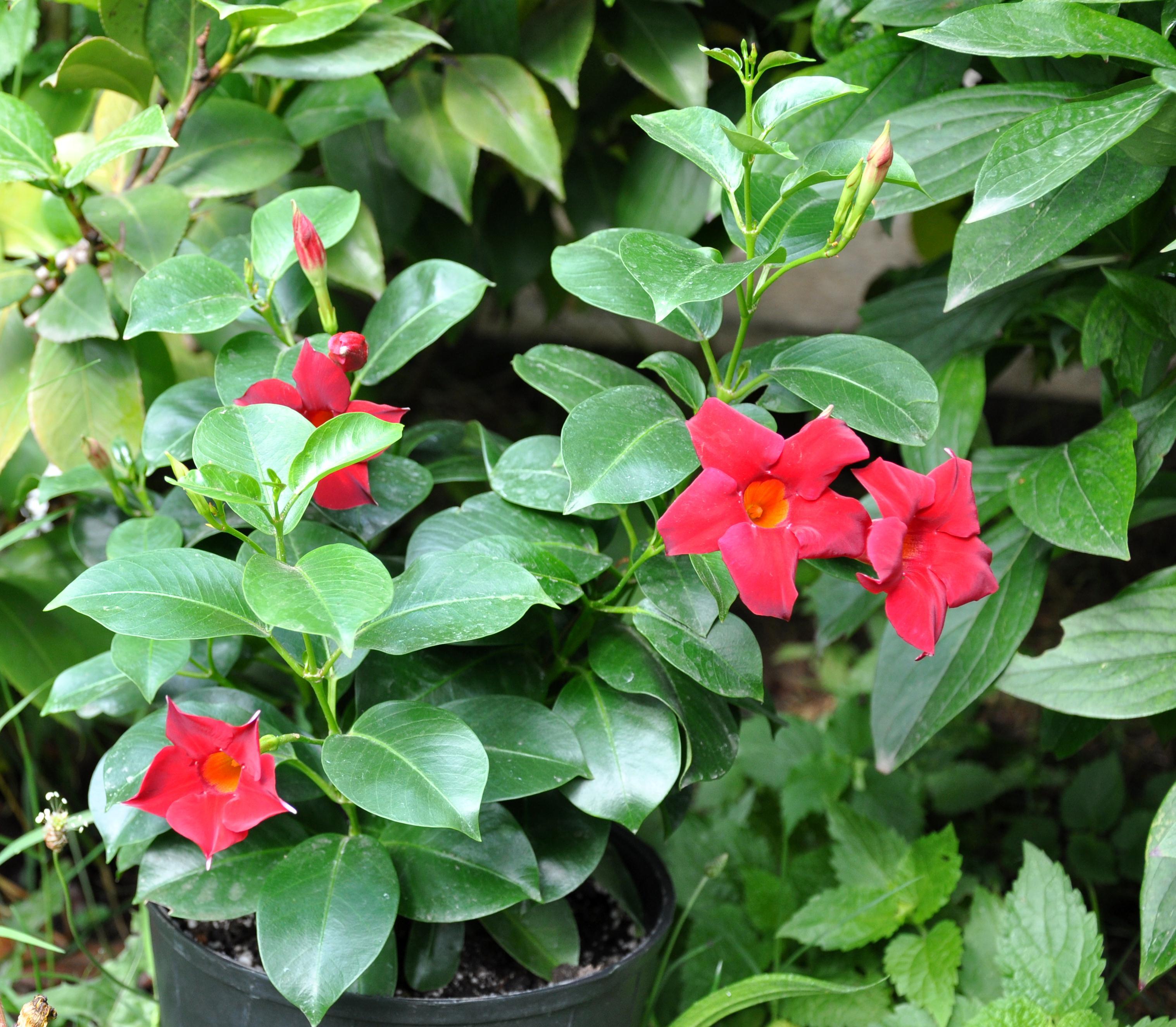 File mandevilla sanderi brazilian jasmine jpg for Dipladenia sanderi