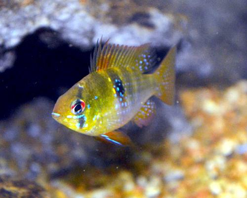 Ram cichlid wikipedia for German ram fish